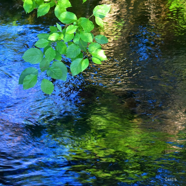 creek green leaves reflect sq DSC_0043