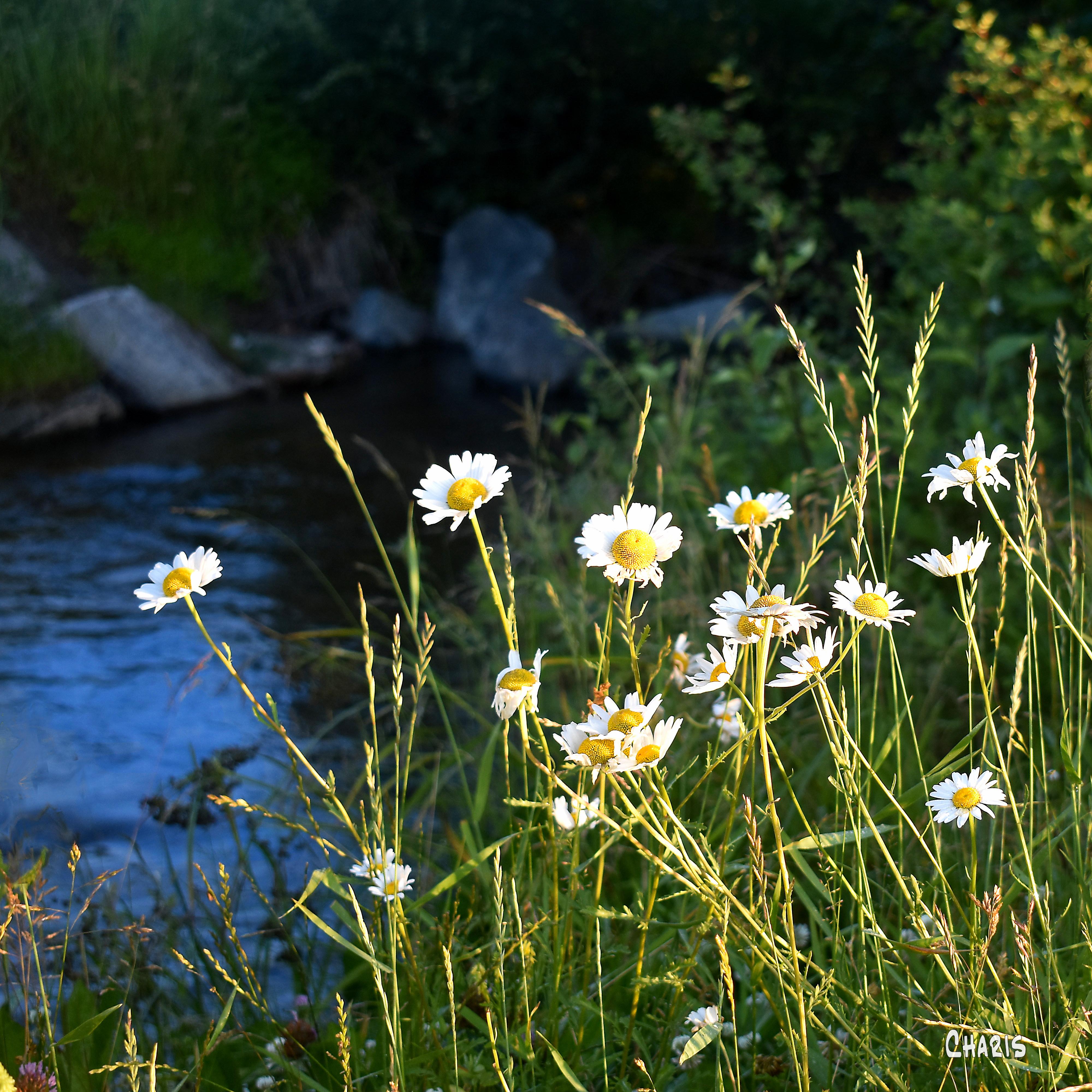 daisies creek sq ch crop DSC_0015