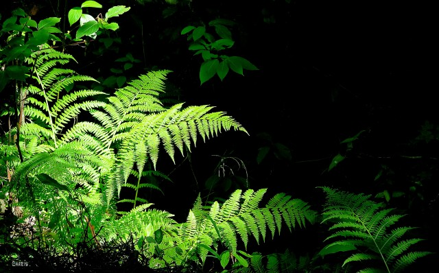 ferns dark ch crop MG_9559