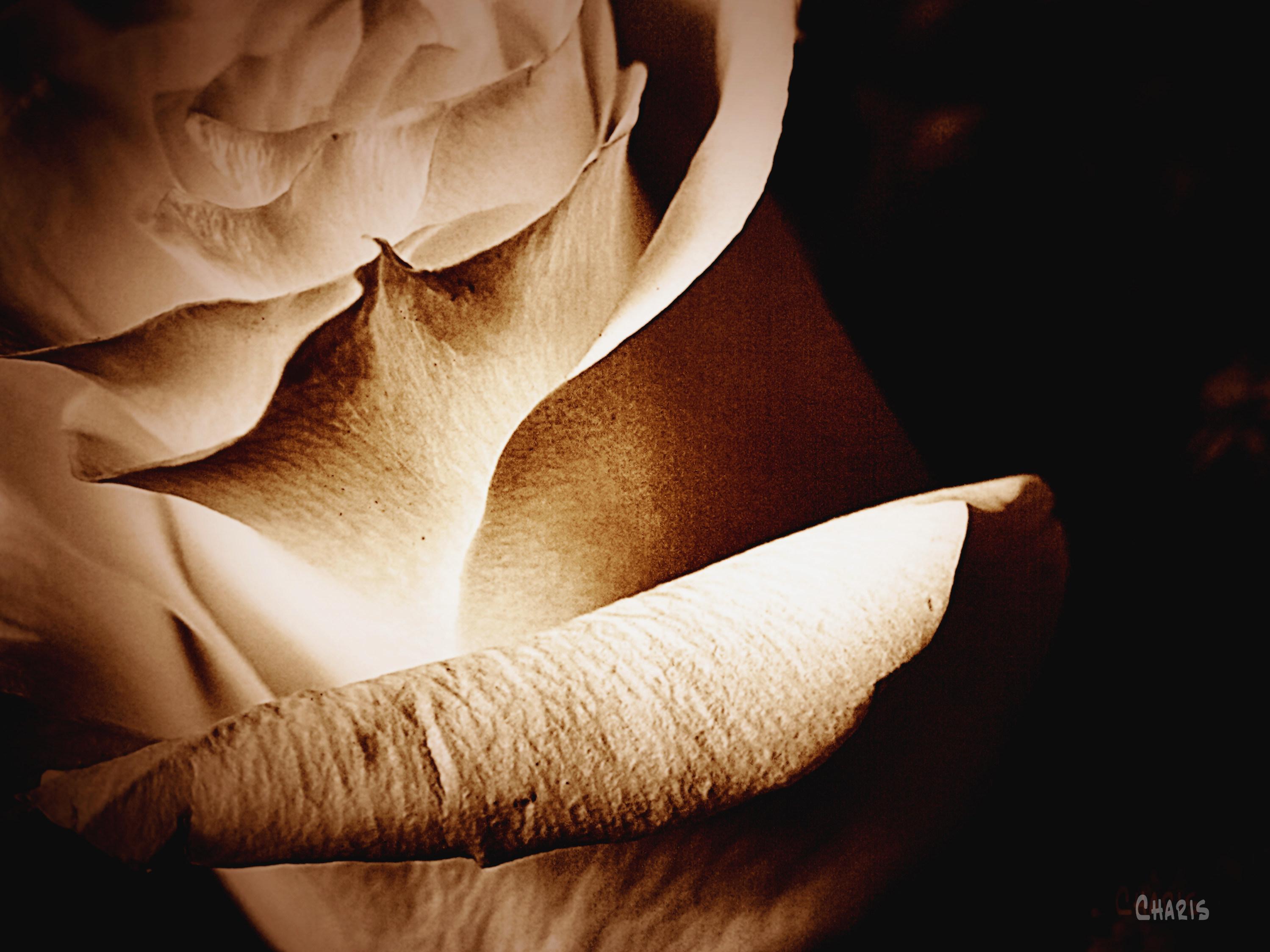 white rose bw ch sepia IMG_4667