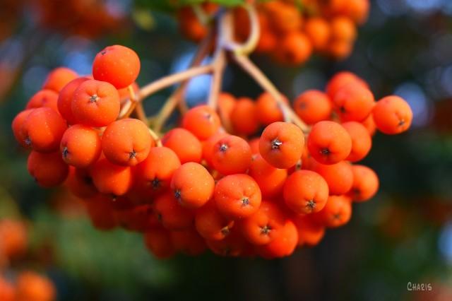 mountain ash berries ch rs DSC_0089