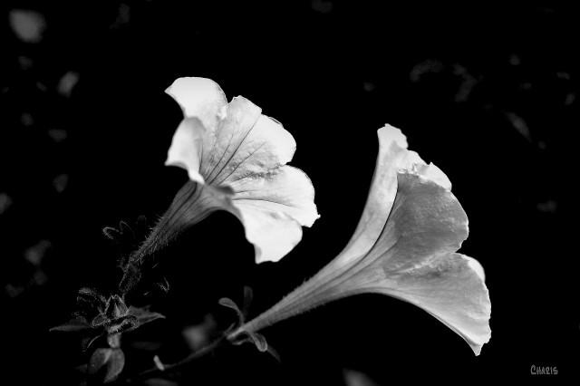 petunia white bw ch rs DSC_0140