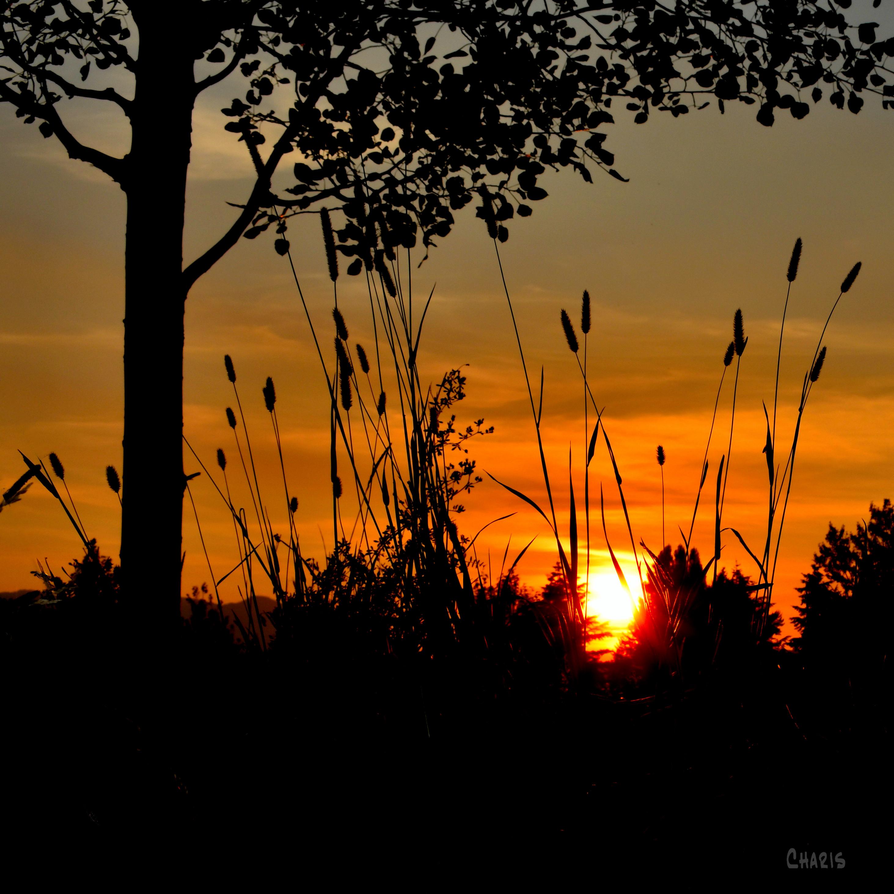 sunset grass tree silhouette ch crop DSC_0194