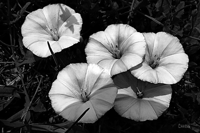 morning glory bw ch IMG_5122