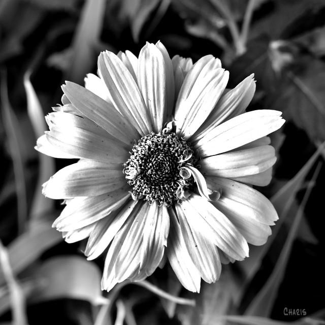 white flower sq bw ch crop DSC_0034.jpg