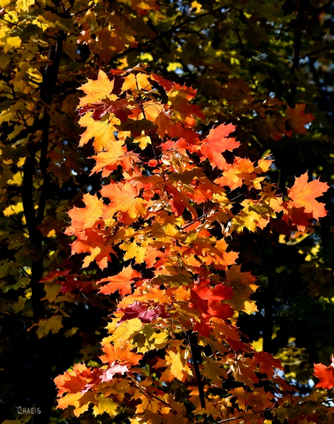 autumn maple ch crop DSC_0366 - Copy
