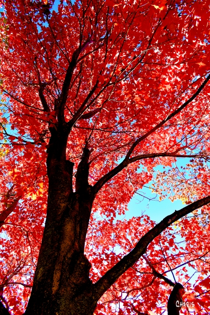 maple red autumn tree ch rs DSC_0072