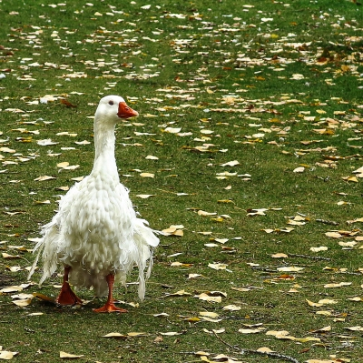 meme not IMG_8539 frazzled goose sq