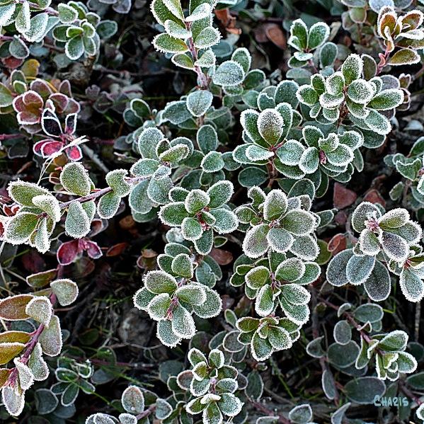 frost kinnikinik sq ch DSC_0019