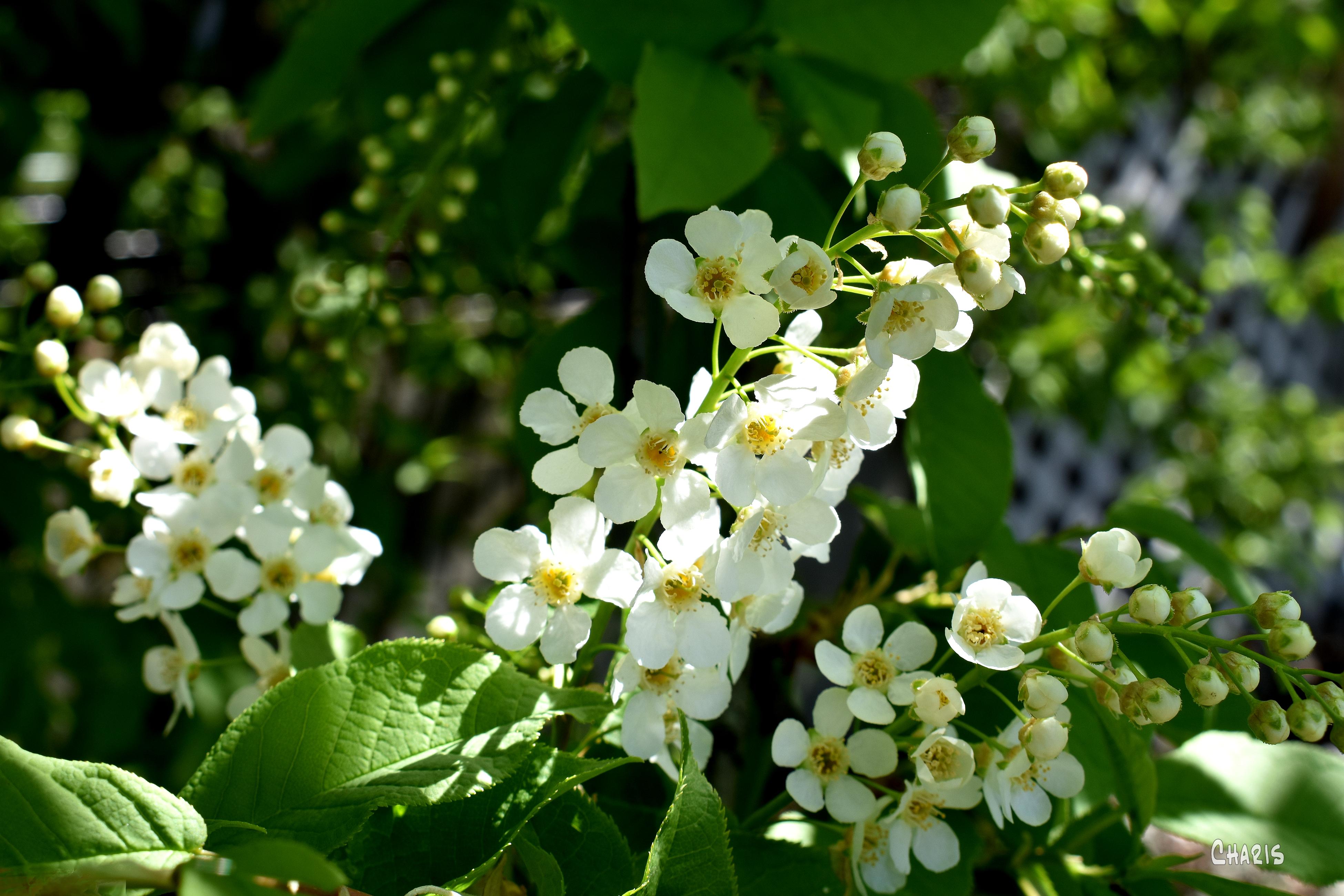 may flower DSC_0144