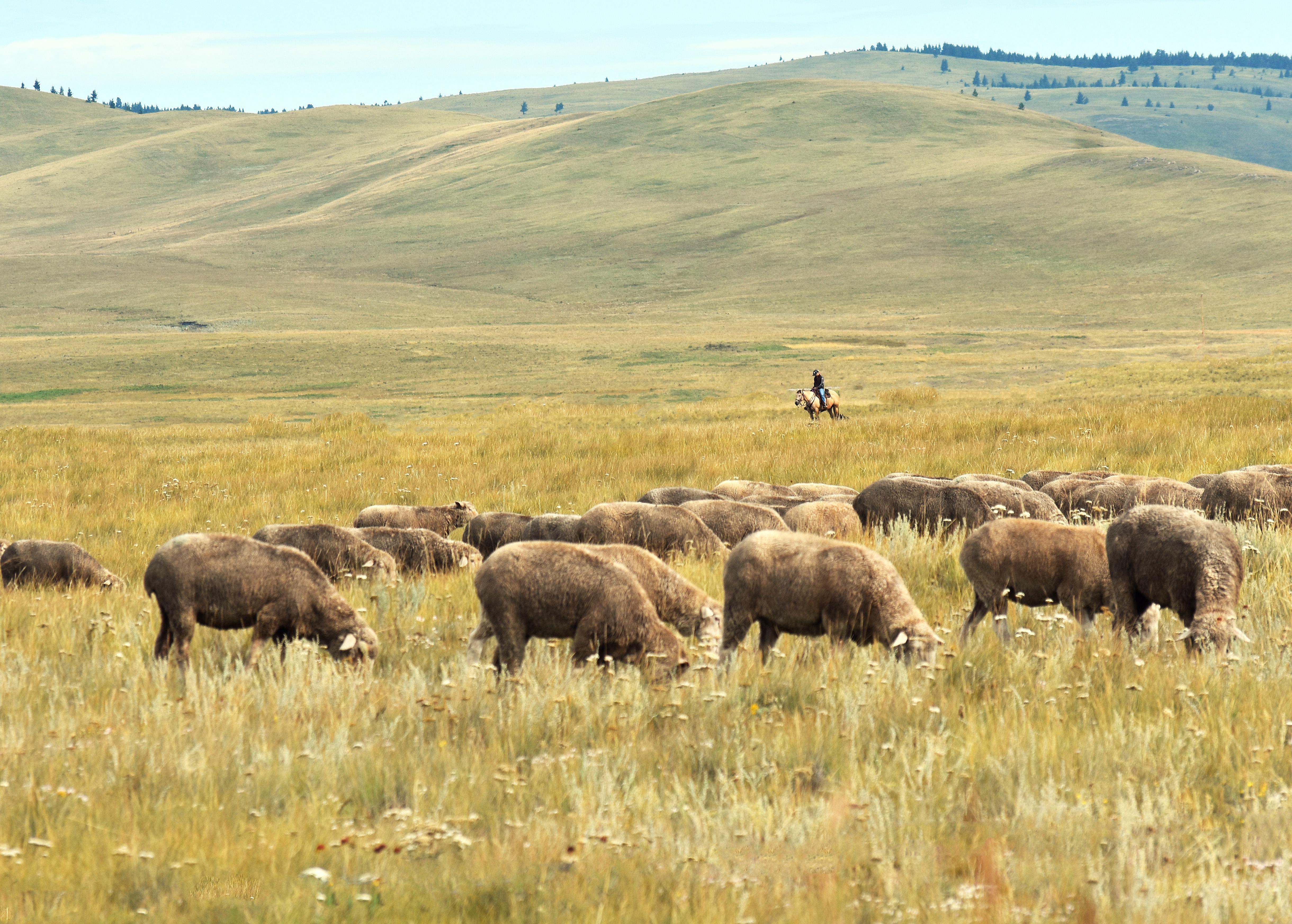 horseback shepherd shee cowboy trail crop DSC_0122