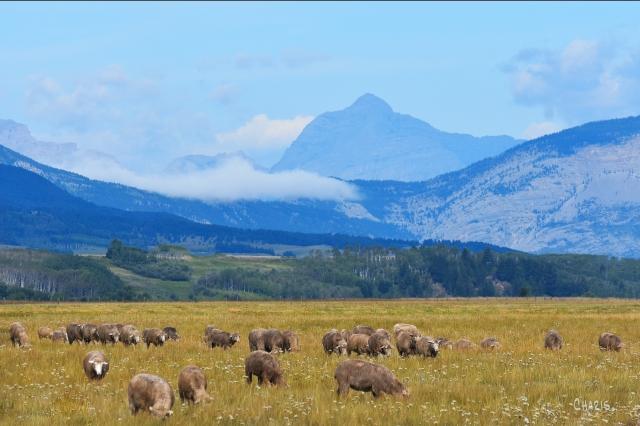 sheep cowboy trail mountains ch rs DSC_0117