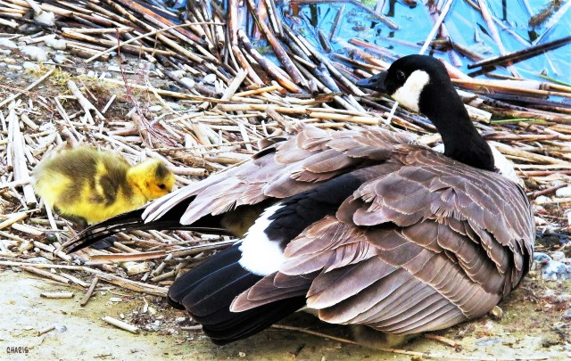 goose-wings-gosling-charis-img_6743 (2)