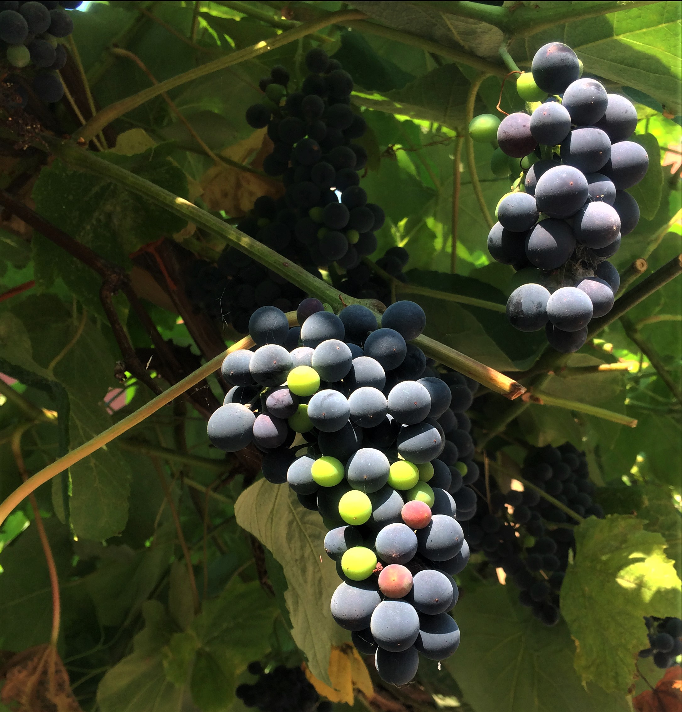 grapes IMG_2067
