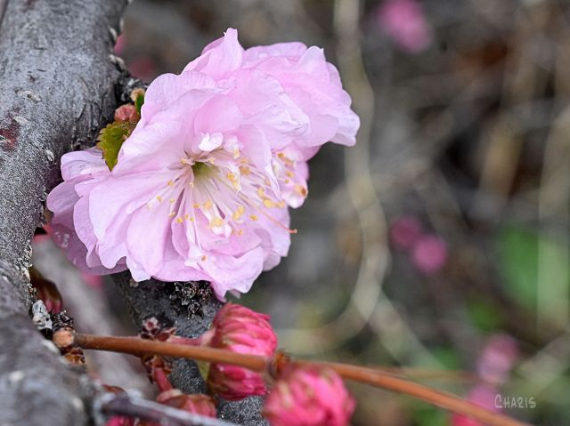 flowering almond 1 ch sq crop DSC_0657