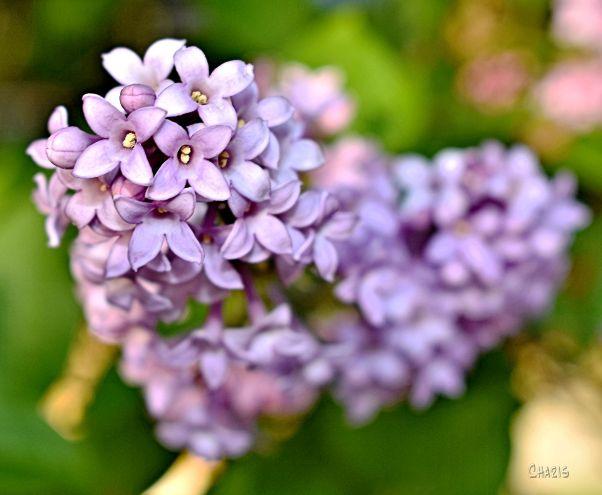 purple heart DSC_0035